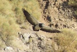 Aguila San Felipe
